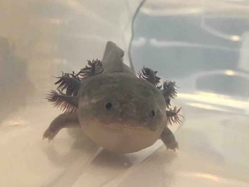 Axolotl Care – Water Critters