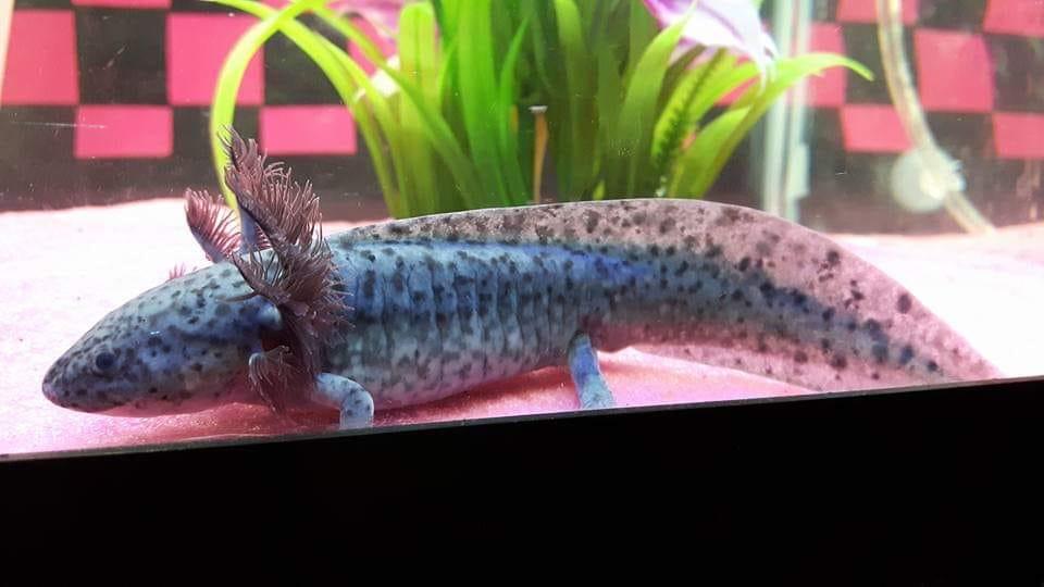 Water Critters – Canadian axolotl breeder